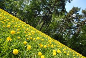 Jag tycker att maskrosen är vårens vackraste blomma. Den är också fri och obunden. En jagad rebell.