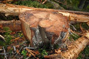 Speciellt vid stubbarna kan man tydligt se spåren av skogsbrand. Enligt Naturskyddsföreningen borde träden ha lämnats kvar på marken.