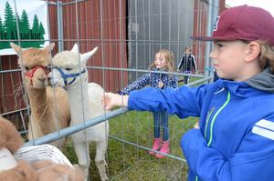 Leon Ahlberg var nyfiken på alpackorna.