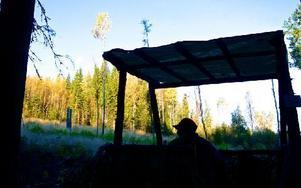 I de älgförvaltningsområden som till stor del utgörs av Ludvika och Smedjebackens kommuner får under den kommande jakten skjutas 1 044 älgar, uppger länsstyrelsen. Frågan är hur många av de 1 239 Vb-bor som löst jaktkort som kommer att delta i älgjakten. Foto: Claes Söderberg/Arkiv/DT