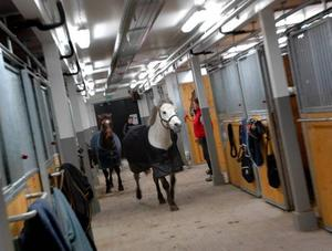 LYCKA. Ridskolehästen Silver rusar glatt in i stallet tätt följd av sina fyrbenta kompisar. Han vet precis vilken box som är hans.