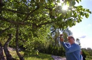 Roger Andersson från Gävle fotograferar det blommande äppelträdet.