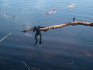 En stackars död groda som min dotter Alva fiskade upp ur sjön :(