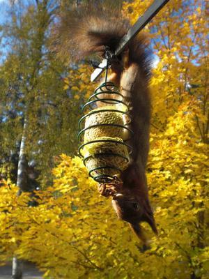 Men denna gång ville ekorren ha talgbollar istället.