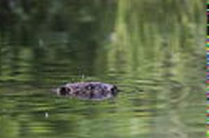 Balkongbiologen tror att levande bävrar har ett större värde än döda,