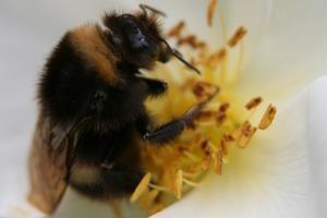 Full färd att samla pollen är denna vackra humla...