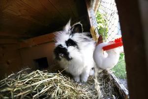 Emil tog det lugnt hemma i sitt eget kaninhus i går.–Nu ska vi sätta lås på buren, säger Ingrid Rosén.