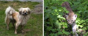 Lika som bär? Den tilltufsade hunden Sussie kan ha förväxlats med ett lodjur. FOTO: LÄSARBILD OCH SCANPIX