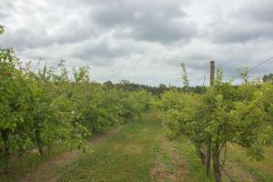 Bergs Äppelgård – tio hektar mark full av äppelträd, päronträd och plommonträd.
