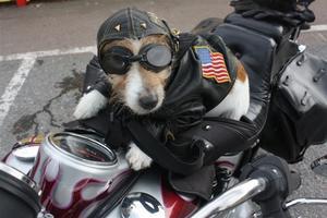 Augusti månads bästa bild kalalr fotografen Motorcykelhund. Lilla Harley älskar att åka mc.