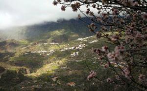 Mandelträden blommar i bergen från jul till slutet av februari. Foto: Johan Öberg