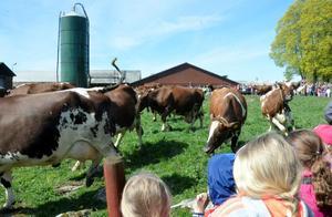 Äntligen! Dryga 3 000 besökare såg på lördagen korna på Sverkesta gård skutta ut på grönbete för första gången i vår.