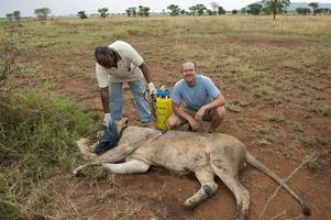Den sövda lejonhannen får hjälp av veterinären Richard och Daniel. I den gula behållaren finns vatten som de sprejade över lejonet för att skydda mot värmen.