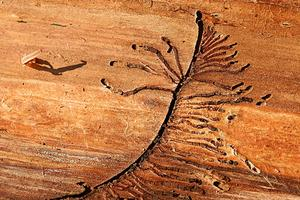 Trädliknande spår av granbarkborrar i underbarken. Honan har gjort den stamliknande gången och larverna de som liknar grenar.