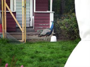 Påfågeln bakom nät och lås.