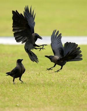 Huskråkor är, som många kråkfåglar, väldigt sociala. De interagerar konstant med varandra. Bilden är tagen på Sri Lanka. Arkivbild.   Foto: Gurinder Osan/AP/TT