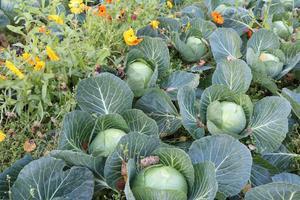 Vitkålen pryder grönsakslandet.