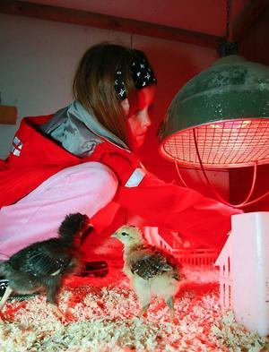 8-åriga Olivia berättar att kycklingarna får värme av den stora lampan. Kycklingarna brukar ligga precis under.