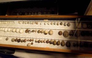 Äggen i samlingarna är katalogiserade och numrerade.