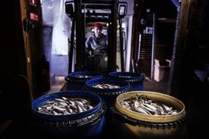 Förra året lade Hannells in hel strömming i 866 tunnor, plus 180 tunnor filéer. Filéar gör man inte själv.