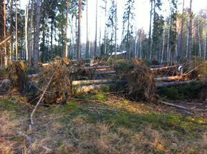 Massor av träd föll i Grycksbo utanför Falun.