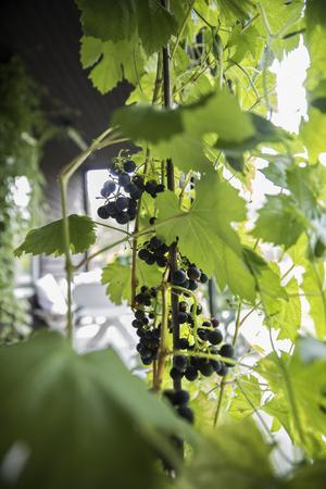 Paret har även lyckats odla vindruvor i uterummet.