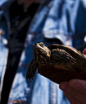 Här är sköldpaddan som överlevde vinter i Skitviken.