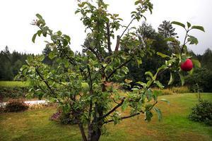 I år blir det färre frukt på många äppelträd eftersom vi hade ett fint äppelår i fjol och träden behöver återhämta sig i år.