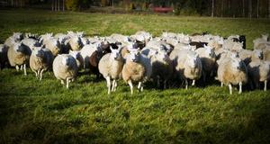 Tiden efter vargattacken hägnade Kjell Andersson in sina får med ett rovdjursstängsel.