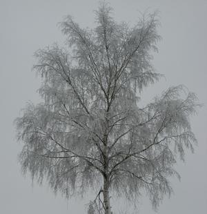 En av många rimfrostiga träd, en björk.