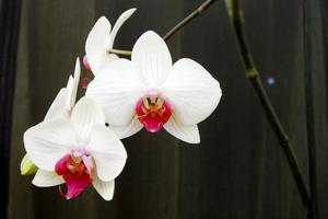 Färger. Färger och Orkidéer är färger. Några av Mai Näsmans orkidéer har blommat kontinuerligt i åtta år.