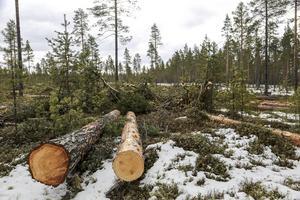 Fjällnära skog. Fotograf: Mikael Andersson