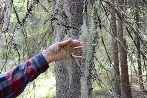 Garnlav är en av flera rödlistade arter som finns i reservatet.