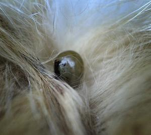 Ta för vana att gå igenom pälsen på ditt husdjur varje dag under sommarhalvåret och ta bort fästingar så fort som möjligt.