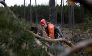 gallrad skog. Ingemar Sundberg i Toretorp hade gallrat den här skogen för något år sedan och därför blev den extra utsatt för Dagmars härjningar.