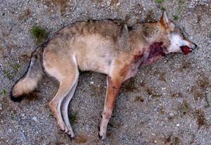 Blir fler. Bilden visar en skjuten varg. Enligt WWF öppnar regeringens förslag, som riksdagen beslutar om i morgon, för en halvering av vargstammen.Foto: Scanpix/TT