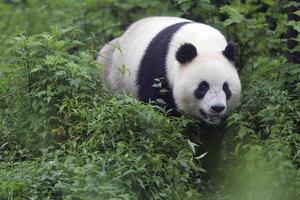 Pandor i den berömda djurparken i Chengdu.