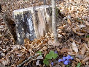 Blåsippor vid gammal stubbe, fotade av gammal gubbe.