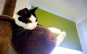 På hemmet har katterna flera olika pelare att vara på. Här i en korg till exempel. Foto: Sofie Lind