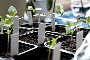 Chili är populärt att odla – men då gäller det att man börjar i tid. De här såddes i februari och får stå under ett lysrör i början då dagsljuset inte räcker till.