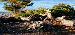 På Ygnestranden växer tallarna lågt (kryper längst med marken) och bildar naturliga sittplatser, perfekt formade som en grillplats. Vackert med havet och solnedgång i bakgrunden.
