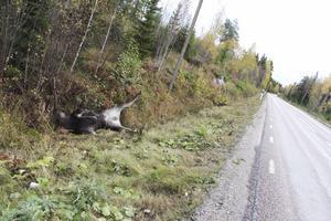 I diket. En älg ligger kvar efter en vilolycka på väg 256, söder om Norberg.