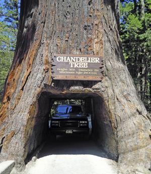 Amerikansk sekvoja är ett barrträd som växer i nordvästra Kalifornien. Träden kan bli upp 100 meter höga.   Foto: Emeli Emanuelson