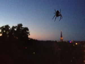 The amazing spider-man. Varje kväll får vi besök av tre hungriga spindlar som förmodligen tycker att våra fönster är perfekta för jakt. Dom häftiga att titta på och är ganska trevliga sällskap - så länge dom håller sig utanpå fönstret.