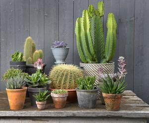 Kaktusen gick att se i många stylade hem.