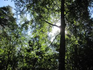 Solen den gömmer sig bakom trädstammen. Flyttar jag på mig, så lockar jag fram´en ...