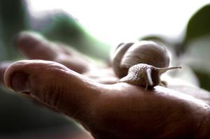 Nykomling. Vinbärssnäckan är fem centimeter lång när den sträcker ut sig i Olle Nääs hand. Foto:Paulina Håkansson