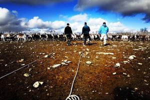 I det stora rengärdet skiljer man ut de stora tjurar som ska gå till slakt. Samtidigt märker man också de kalvar man tidigare missat.