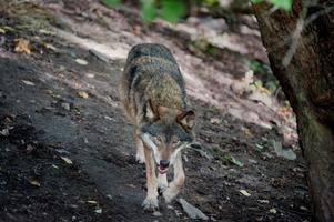 En vargtik är just nu på vandring genom södra Närke i jakt efter en lämplig boplats. (Vargen på bilden är en annan varg.)