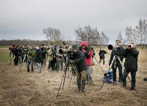 Vilket drag. Bara några timmar efter larmet om att en kaspisk pipare siktats vid Sandasjön på Mörkö hade hundratals ornitologer hunnit till platsen, ett par ända från Växjö.